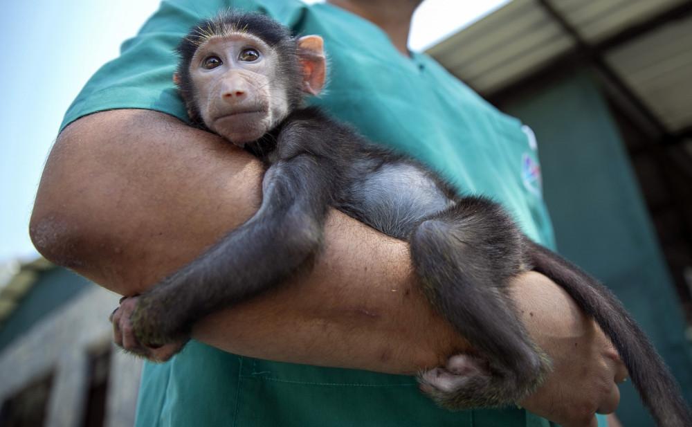 Annesinin Kabullenmediği Yavru Babun Hayvanat Bahçesinin Neşesi Oldu